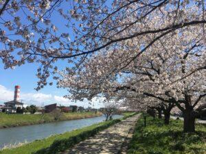 桜の時期の綾瀬川沿い