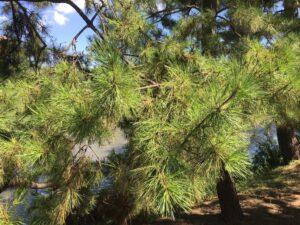 草加市の木「松」