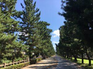 草加松原の松並木
